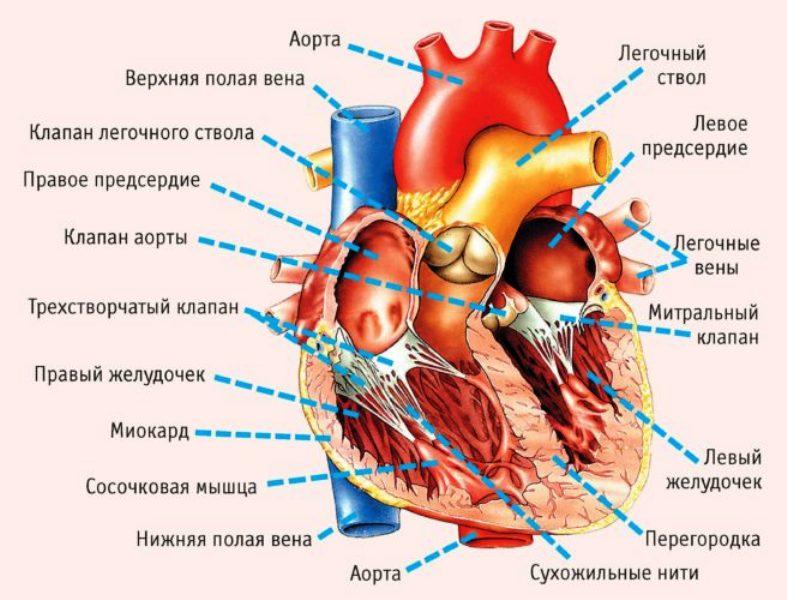 Строение сердца и расположение левого желудочка