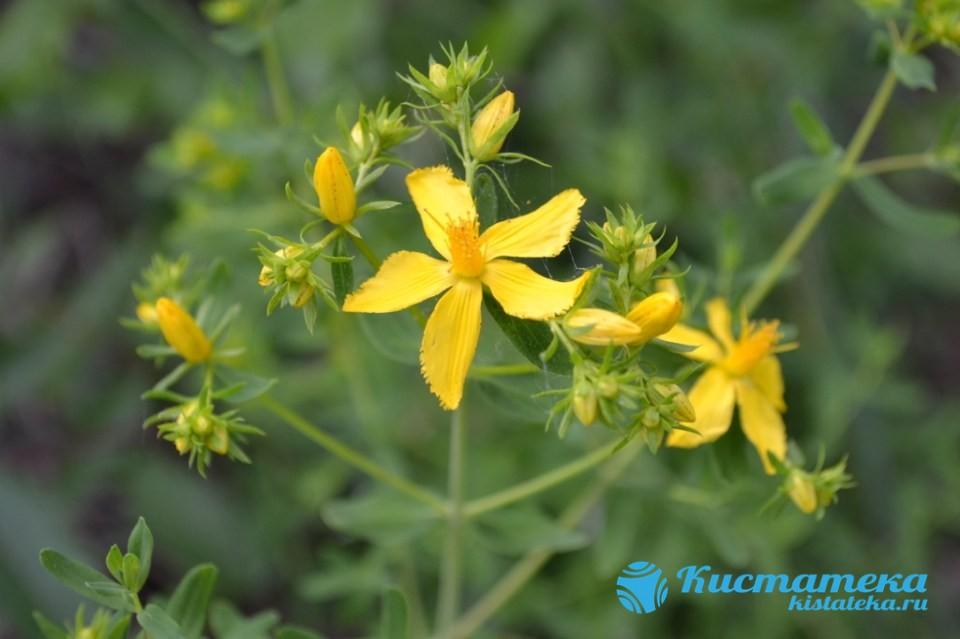 Зверобой обладает мощным лечебным действием, способствует выведению токсинов из тканей