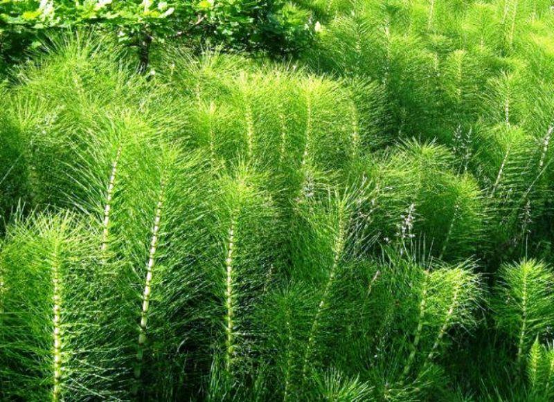 Растение хвощ