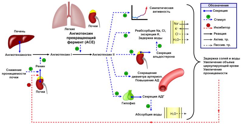 Система ренин-ангиотензин-альдостерон
