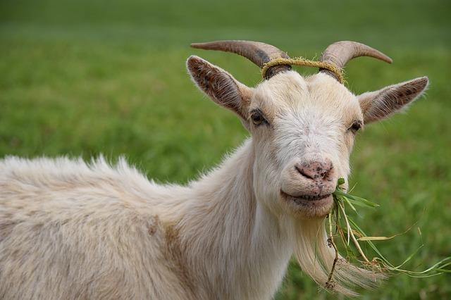 коза белая