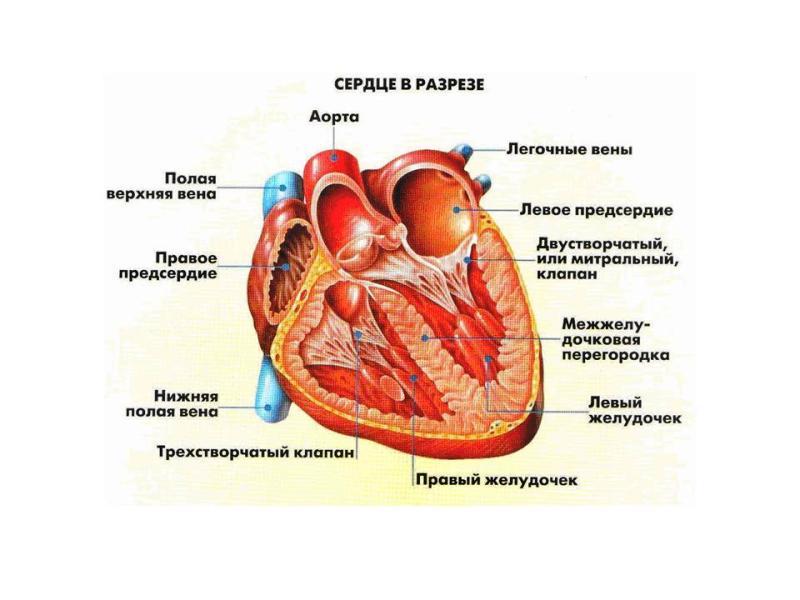 Строение сердца в разрезе