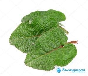 Листья лопуа имеют лекарственное действие и при злокачественны опуоля