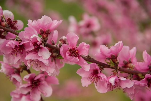 цветение персикового дерева
