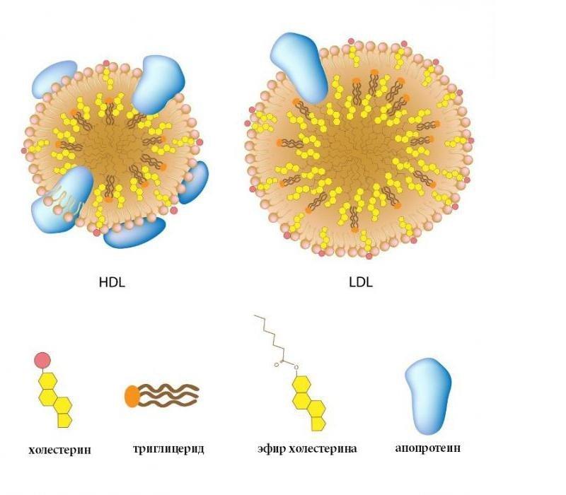 Норма триглицеридов в организме является залогом правильного строения и функционирования клетки