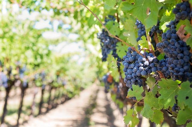 плантация винограда