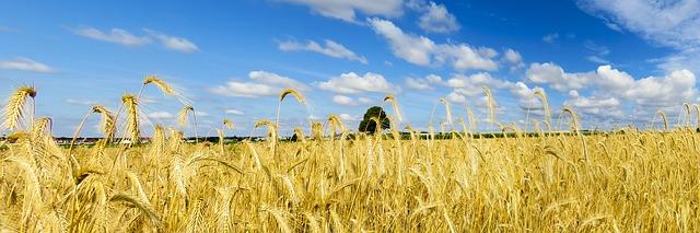 небо, поле, зерновые